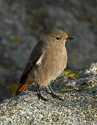 Black Redstart photographed at Rousse [ROU] on 10/12/2011. Photo: © Mike Cunningham