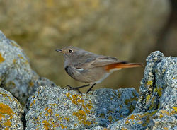 Black Redstart photographed at Rousse [ROU] on 12/12/2011. Photo: © Mike Cunningham