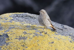 Black Redstart photographed at Beaucette Marina on 12/12/2011. Photo: © Paul Bretel