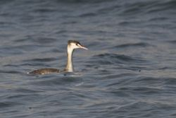 Great Crested Grebe photographed at Pembroke beach on 10/12/2011. Photo: © paul  carre