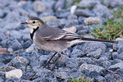Pied Wagtail photographed at Rousse [ROU] on 17/12/2011. Photo: © Rod Ferbrache