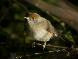 Blackcap photographed at Vale Pond [VAL] on 18/12/2011. Photo: © Mike Cunningham