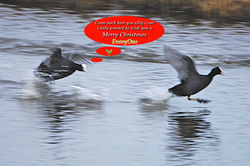 Coot photographed at Vale Pond [VAL] on 22/12/2011. Photo: © Royston Carr�