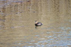 Little Grebe photographed at Vale Pond [VAL] on 26/12/2011. Photo: © Allan Phillips