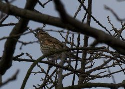 Redwing photographed at Saumarez Park [SAU] on 26/12/2011. Photo: © paul  carre