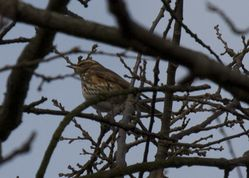 Redwing photographed at Saumarez Park on 26/12/2011. Photo: © paul  carre