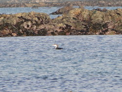 Great Northern Diver photographed at L'Eree on 27/12/2011. Photo: © Michelle Hooper