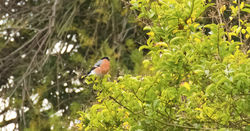 Bullfinch photographed at Richmond [RIC] on 29/12/2011. Photo: © Anthony Loaring