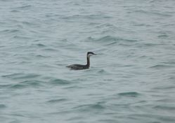 Slavonian Grebe photographed at Grandes Havres [GHA] on 31/12/2011. Photo: © Mark Guppy