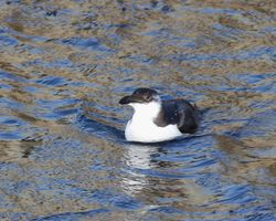 Razorbill photographed at St Sampson's Harbour [STS] on 2/1/2012. Photo: © Cindy  Carre