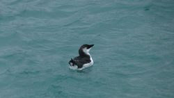 Razorbill photographed at St Peter Port harbour on 3/1/2012. Photo: © Mark Guppy