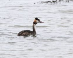 Great Crested Grebe photographed at Grandes Havres [GHA] on 6/1/2012. Photo: © Cindy  Carre