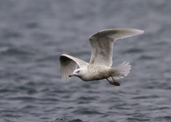 Glaucous Gull photographed at Rousse [ROU] on 6/1/2012. Photo: © Vic Froome
