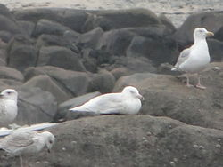Glaucous Gull photographed at Rousse on 6/1/2012. Photo: © Michelle Hooper