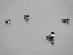 Shoveler photographed at Vale Pond [VAL] on 7/1/2012. Photo: © Michelle Hooper