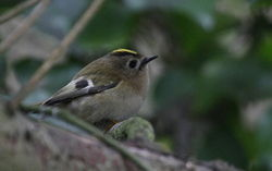 Goldcrest photographed at Marais Nord/Vale Marais [NOR] on 8/1/2012. Photo: © Paul Bretel