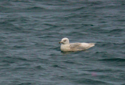 Glaucous Gull photographed at Grandes Havres [GHA] on 9/1/2012. Photo: © Mark Lawlor