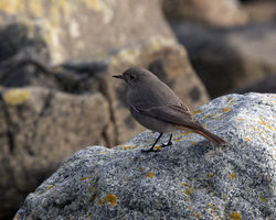 Black Redstart photographed at Rousse [ROU] on 23/1/2012. Photo: © Cindy  Carre
