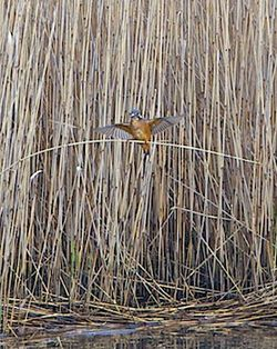 Kingfisher photographed at Vale Pond [VAL] on 29/1/2012. Photo: © Royston Carr�