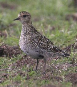 Golden Plover photographed at Pleinmont [PLE]  on 31/1/2012. Photo: © Robert Martin