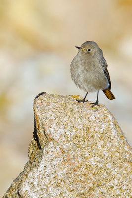 Black Redstart photographed at Fort Hommet [HOM] on 15/1/2012. Photo: © steve levrier