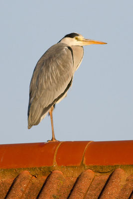 Grey Heron photographed at Bas Capelles [BAS] on 4/2/2012. Photo: © Rod Ferbrache