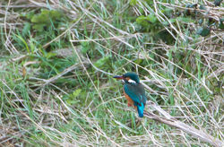 Kingfisher photographed at Vale Pond [VAL] on 5/2/2012. Photo: © Allan Phillips