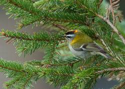 Firecrest photographed at St Peter Port [SPP] on 8/2/2012. Photo: © Mike Cunningham