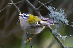 Firecrest photographed at Silbe [SIL] on 11/2/2012. Photo: © Rod Ferbrache