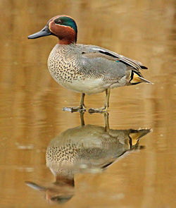 Teal photographed at Grands Marais/Pre [PRE] on 12/2/2012. Photo: © Mike Cunningham