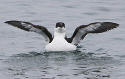 Razorbill photographed at St.Peter Port, Harbour Fishermans' quay on 17/2/2012. Photo: © Robert Martin