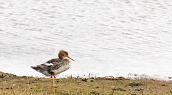 Red-breasted Merganser photographed at Vale Pond on 18/2/2012. Photo: © Anthony Loaring