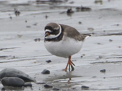 Ringed Plover photographed at Belle Greve Bay [BEL] on 25/2/2012. Photo: © Robert Martin