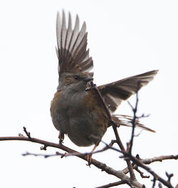 Dunnock photographed at Bordeaux [BOR] landfill site on 25/2/2012. Photo: © Robert Martin