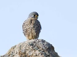 Kestrel photographed at Albecq [ALB] on 26/2/2012. Photo: © Allan Phillips