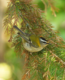 Firecrest photographed at St Peter Port [SPP] on 29/2/2012. Photo: © Mike Cunningham