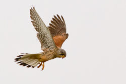 Kestrel photographed at Select location on 1/3/2012. Photo: © Rod Ferbrache