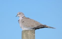 Collared Dove photographed at Pleinmont [PLE] on 4/3/2012. Photo: © Mark Guppy