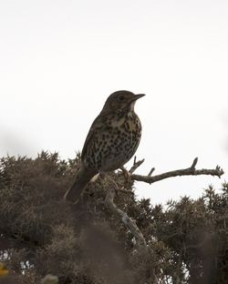 Song Thrush photographed at Fort Le Marchant [MAR] on 28/2/2012. Photo: © Cindy  Carre
