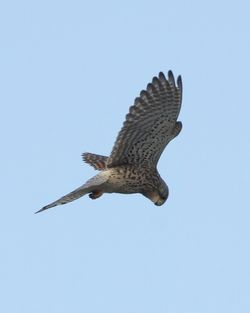 Kestrel photographed at Fort Doyle [DOY] on 6/3/2012. Photo: © Cindy  Carre