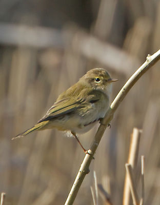 Chiffchaff photographed at Grands Marais/Pre [PRE] on 6/3/2012. Photo: © Mike Cunningham