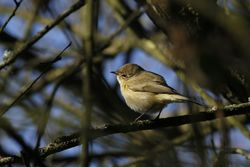 Chiffchaff photographed at Marais Nord/Vale Marais [NOR] on 10/3/2012. Photo: © Paul Bretel