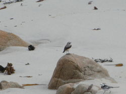Wheatear photographed at Jaonneuse [JAO] on 11/3/2012. Photo: © Michelle Hooper