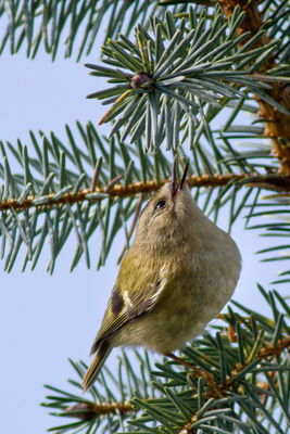 Goldcrest photographed at Bas Capelles [BAS] on 12/3/2012. Photo: © Rod Ferbrache