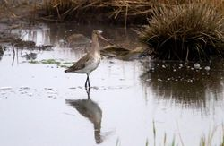 Black-tailed Godwit photographed at Vale Pond [VAL] on 12/3/2012. Photo: © Vic Froome