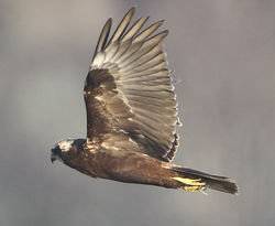 Marsh Harrier photographed at Claire Mare [CLA] on 13/3/2012. Photo: © Robert Martin
