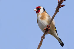 Goldfinch photographed at Bas Capelles [BAS] on 14/3/2012. Photo: © Rod Ferbrache