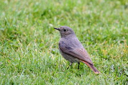 Black Redstart photographed at Mont Marche on 16/3/2012. Photo: © Adrian Gidney