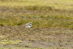 Little Ringed Plover photographed at Colin Best NR [CNR] on 17/3/2012. Photo: © Rod Ferbrache