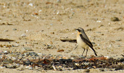 Wheatear photographed at Les Amarreurs [AMM] on 17/3/2012. Photo: © Anthony Loaring